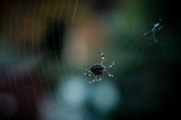 عنکبوت ابتدا تارهای عمودی را به مرکزیت تابیده و سپس با متصل کردن این تارها در نقاط مشخص تور خود را می سازد.